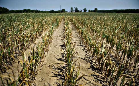 U.S. Corn-Crop Estimate Cut as Midwest Drought Reduces Yields