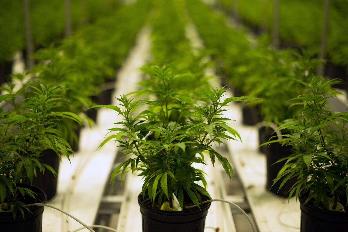 Russian Bank Pioneers Find a New Kick: Marijuana