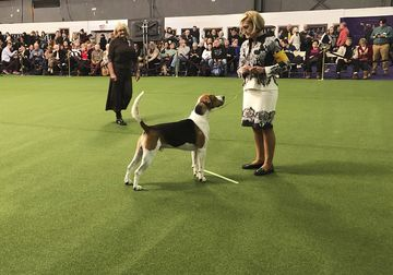 Westminster Dog Show 2019: Rarest Breeds Have Ring to