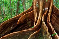 Giant root of an ancient tropical tree in Daintree National Park.