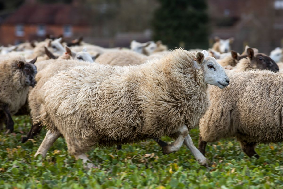 British Sheep Farmers Are Changing Breeding Habits Ahead of Brexit