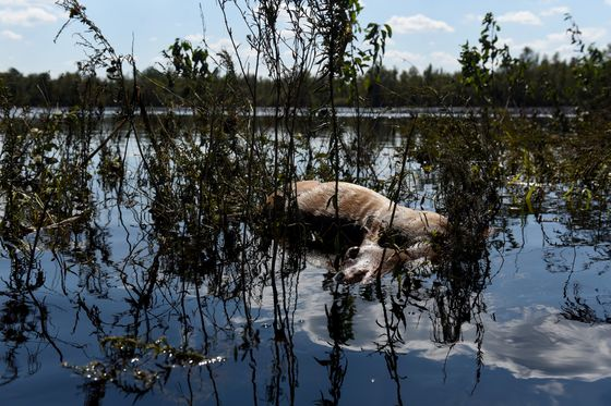 Florence's Death Toll Includes Millions of Animals