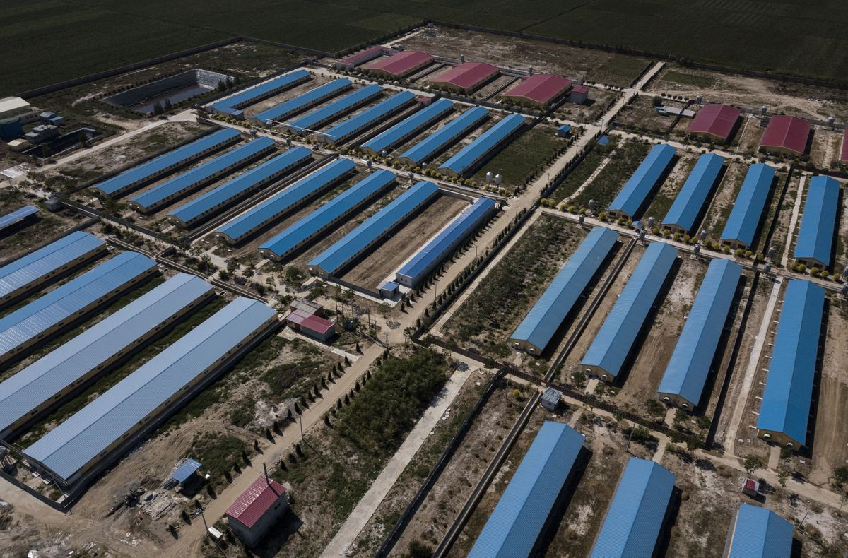 How China's Giant Pig Purge Is Shaking Up the $118 Billion Pork Industry