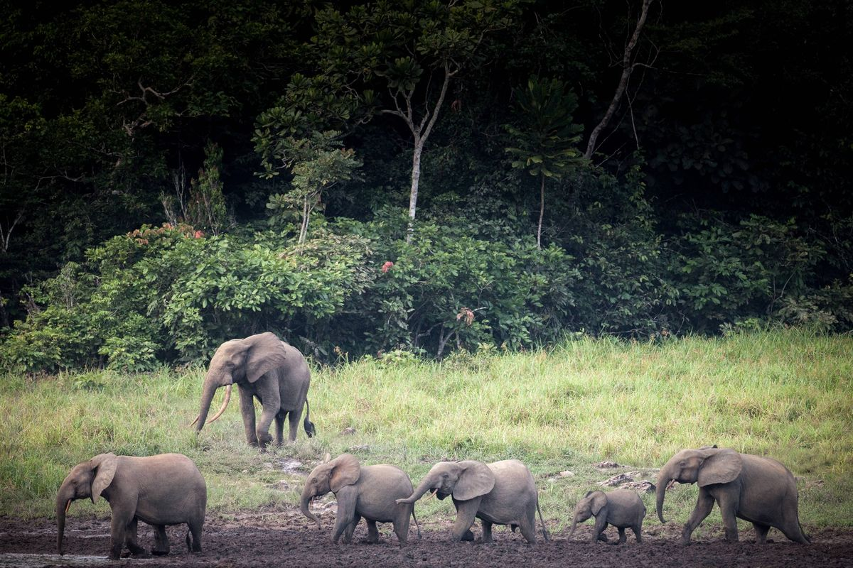 Gorillas, Forest Elephants Lure SFM Investment in Gabon's Forest
