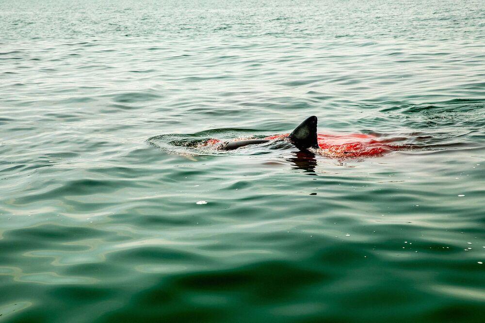 Great White Shark Fever Sweeps Cape Cod - Bloomberg
