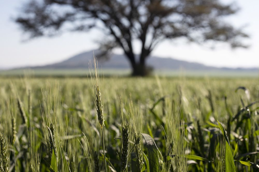 Wheat grows in fields outside Harare, Zimbabwe.