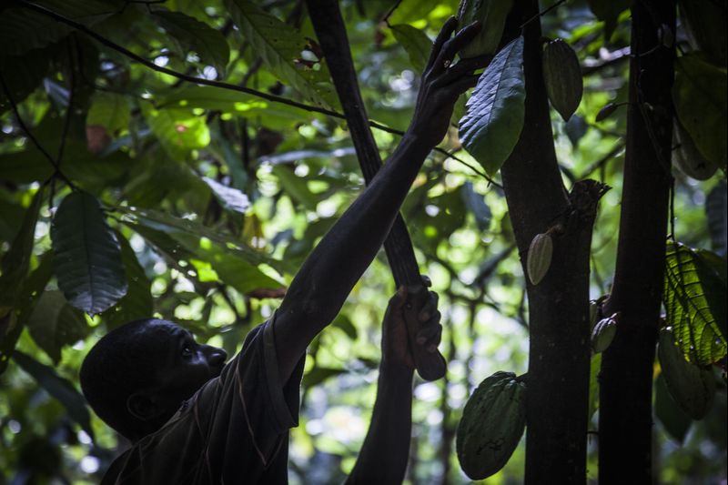 Good News for Chocolate Lovers as Rains Boost Africa Cocoa Crops