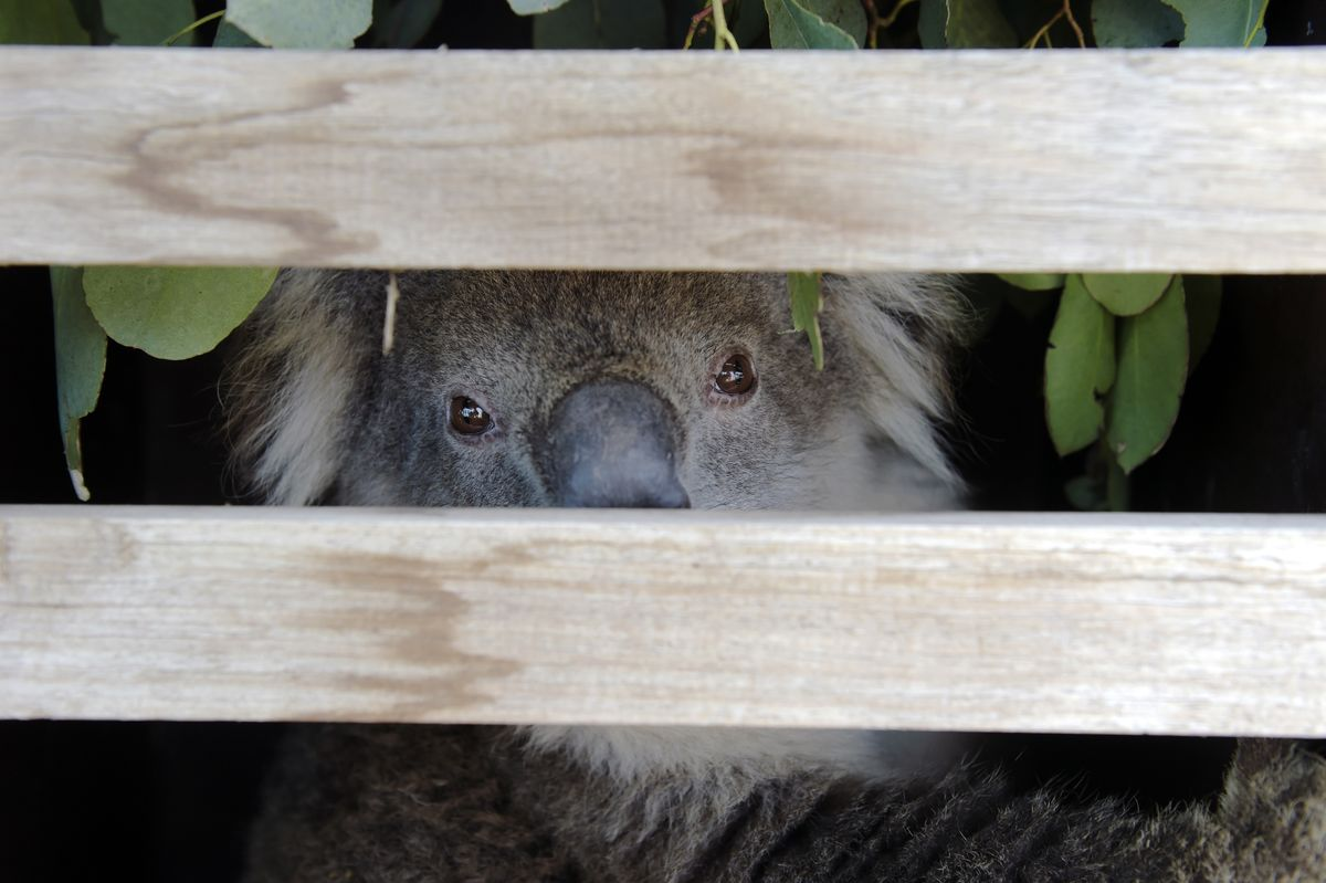 Koalas Could Be Classified 'Endangered' After Fires Decimate Population