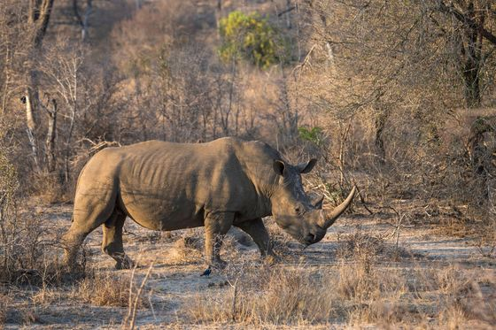 South Africa's Illegal Rhino Killings Up After Virus Curbs Ended