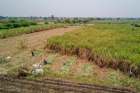 India May Export Six Million Tons of Sugar From New Crop