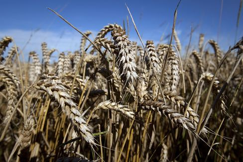 Rogue Oregon Wheat Stirs Foes of Monsanto Gene-Altered Crops