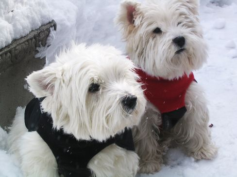 A pair of Westies model West Highland Snow Jackets.