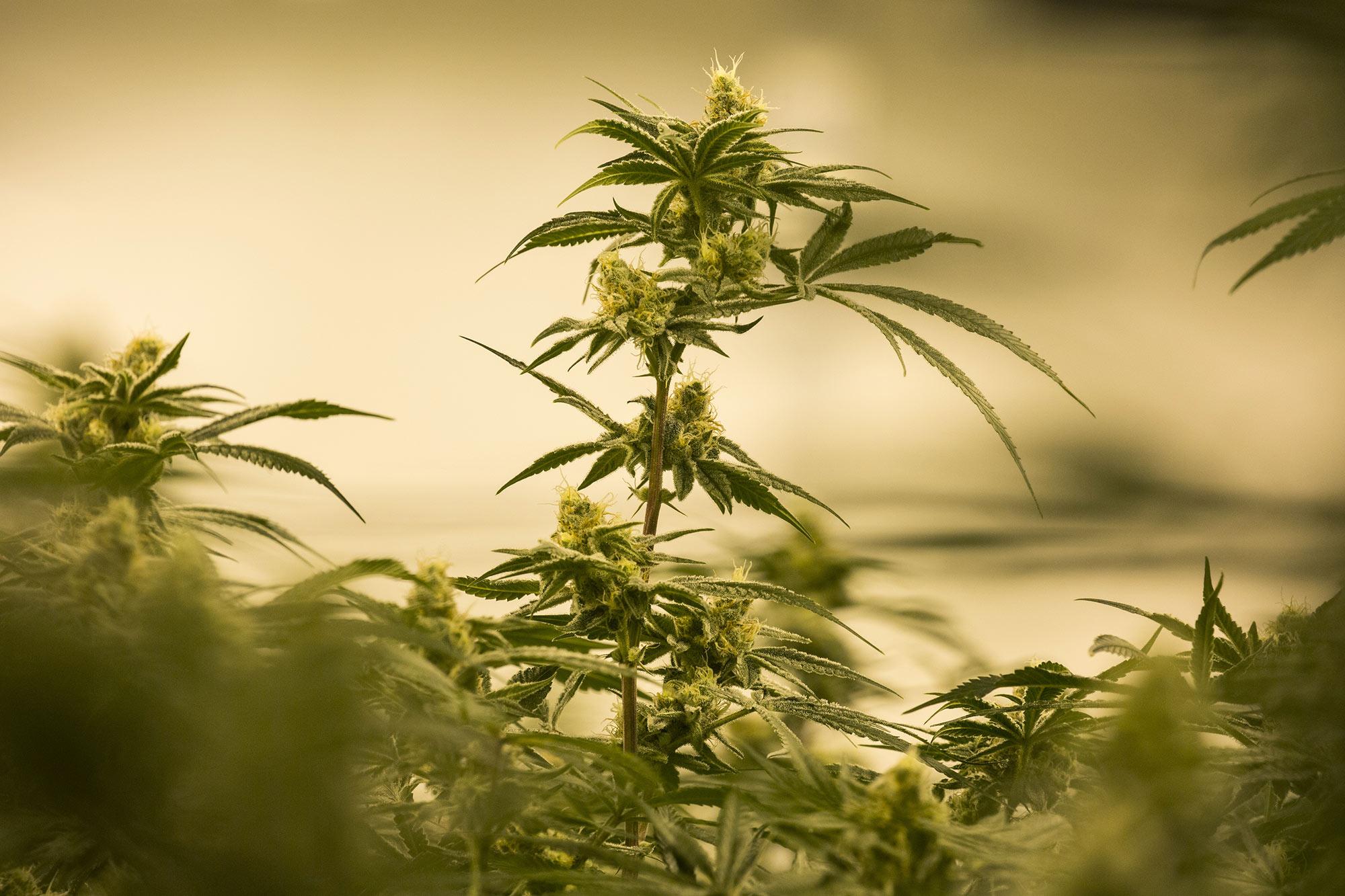 Marijuana Industry Angered by White House Reversal