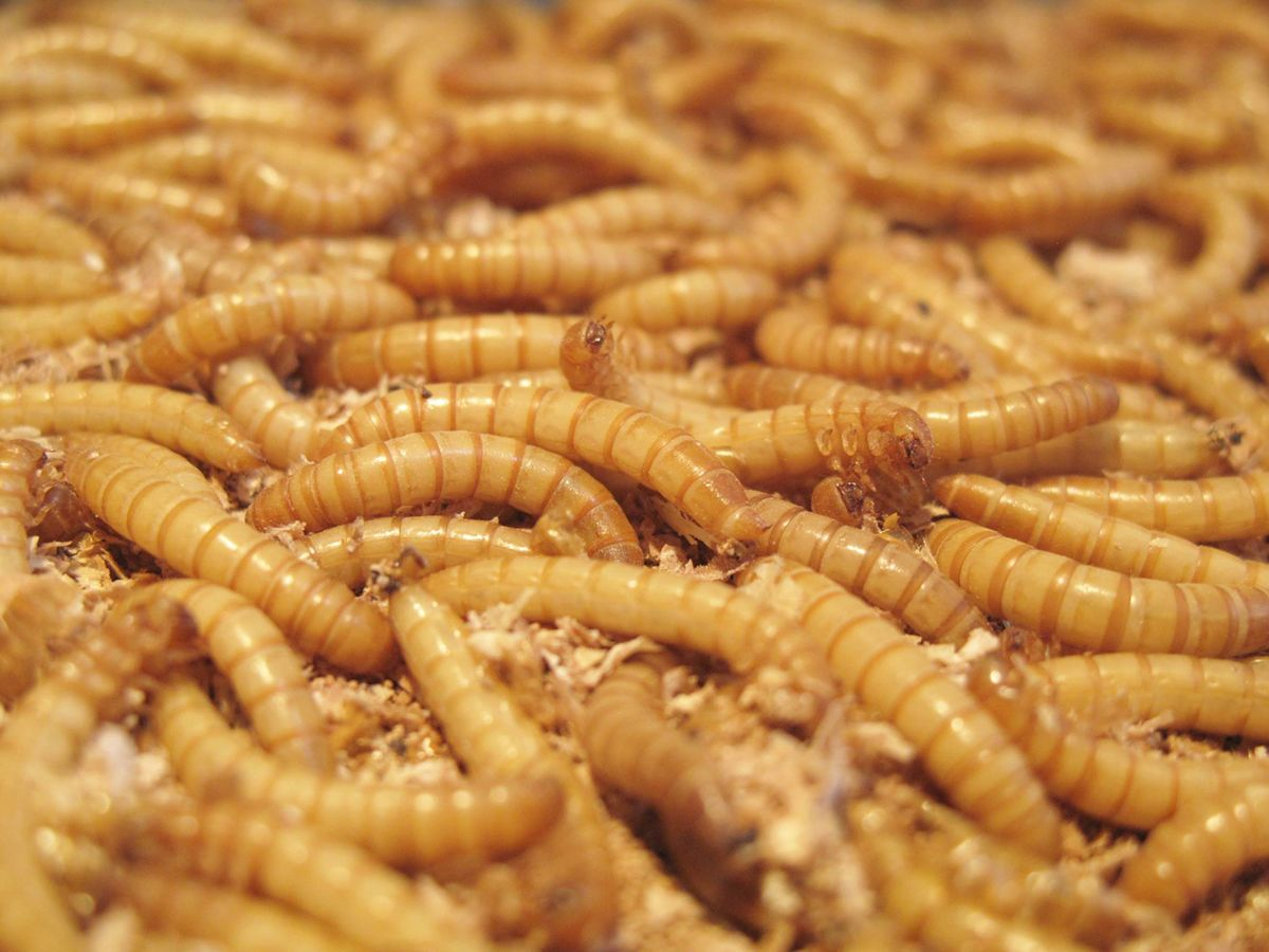 Edible Insect-Farming Hatches New Breed of 'Entopreneurs'