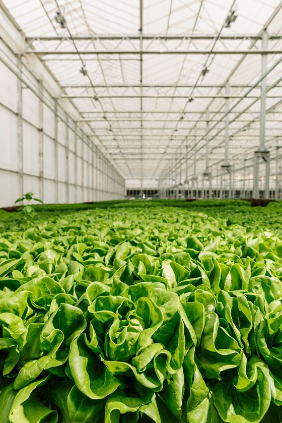 Pricey Greens From Indoor Farms Are Thriving in the Covid Era