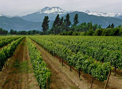 Vines Grow on a Vineyard in Chile