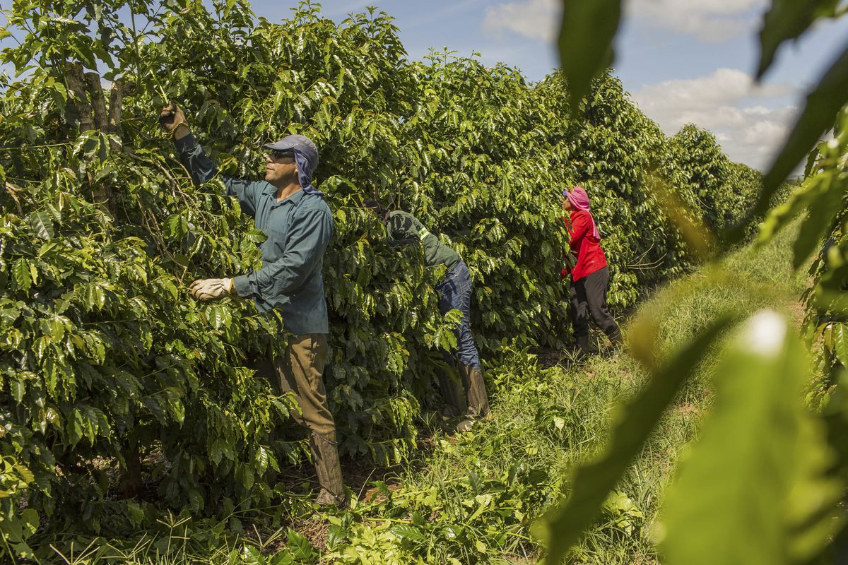 Brazil's Farmers Refuse to Sell Coffee, Waiting on a Price Miracle