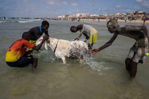 1473452602_Senegal-Sheep