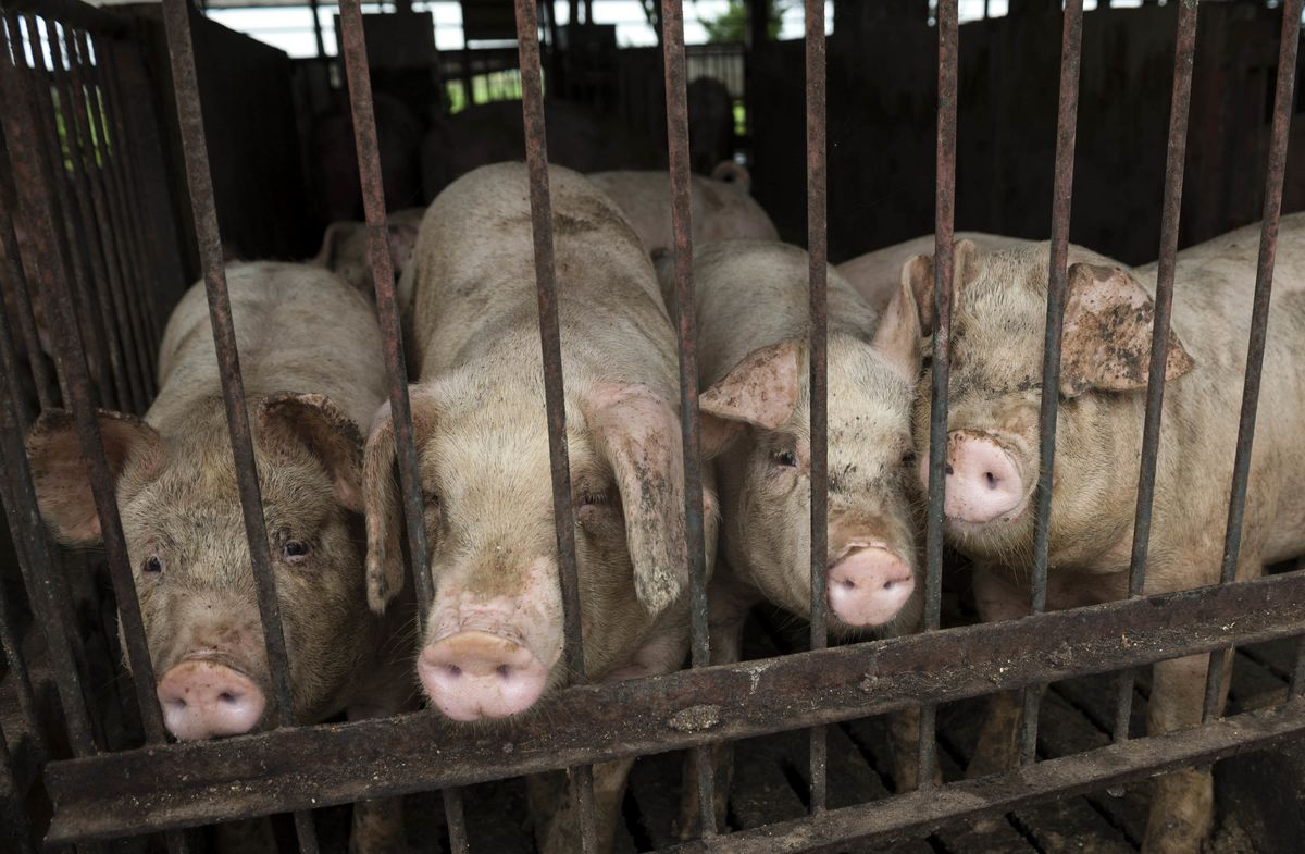 Japan Allows Vaccination of Pigs as Swine Fever Spreads to East