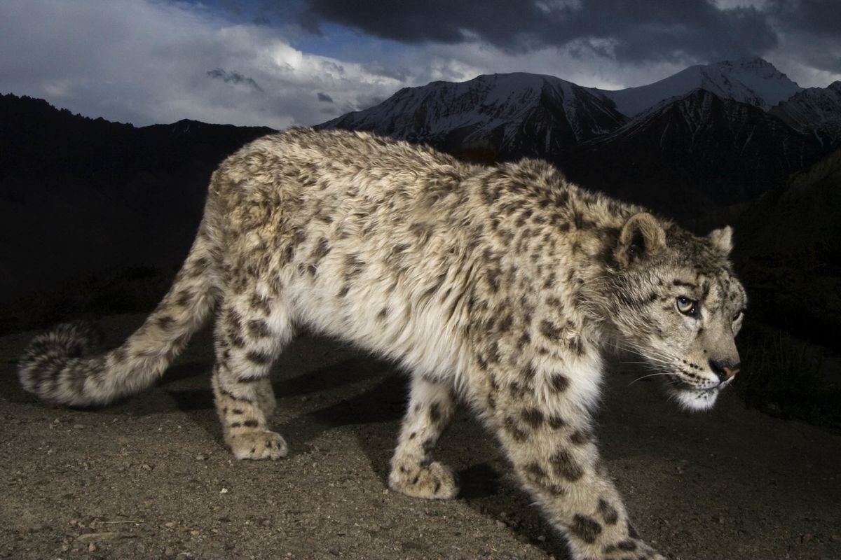 What To Know Before You Go Tracking Snow Leopards at 13,000