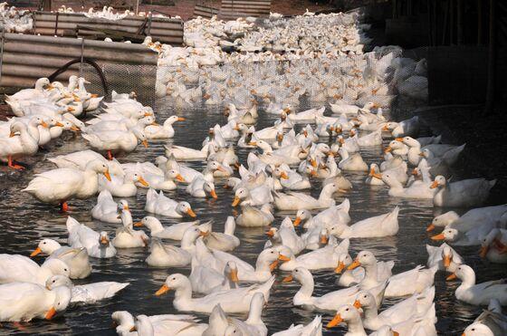 China's Duck Lovers Help Brazil Farmers as Virus Kills Hogs