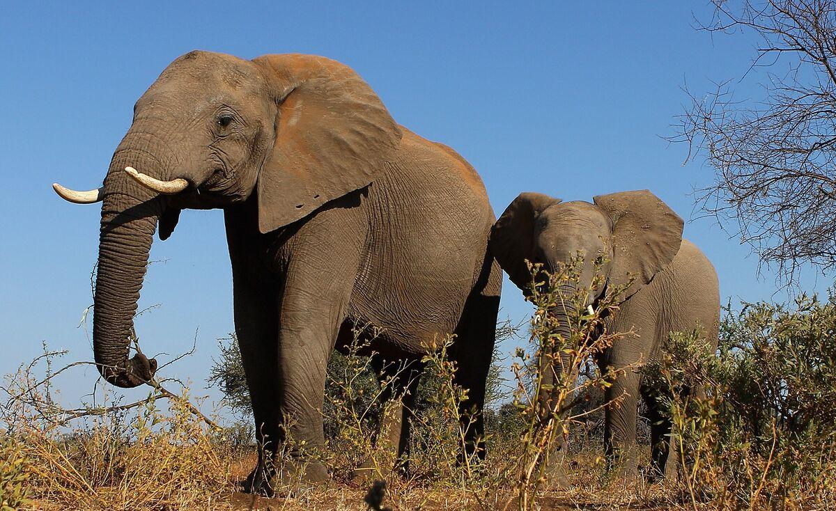 Elephant Export Ban Beyond African Range Upheld at CITES Meeting