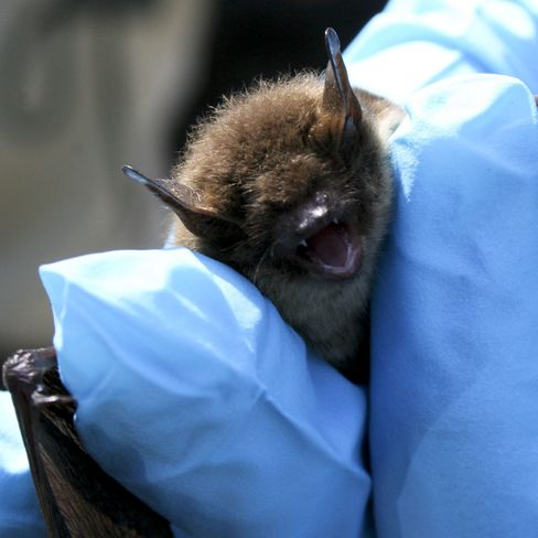 Bug-Eating Bats Endangering Soy, Corn Crops