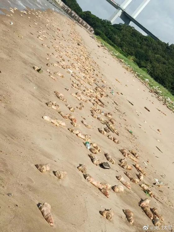 Thousands of Rotting Pig Trotters Wash Ashore on Chinese Beach
