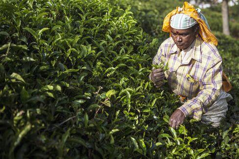 Tea harvesting in India