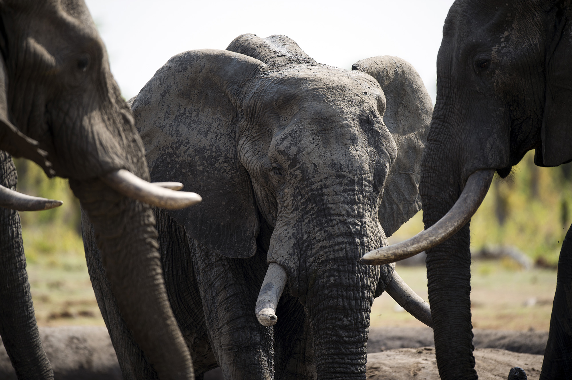 Zimbabwe Considers Mass Elephant Killing, First Time Since 1988