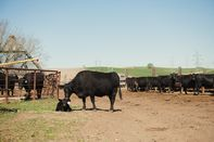 A Black Angus Cattle Ranch Amid Meat Shortages