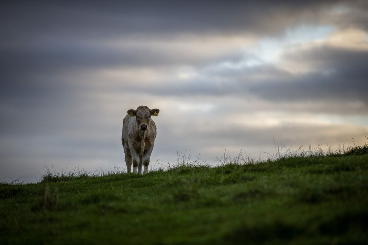 Peak Beef Is Better Climate News Than You Thought