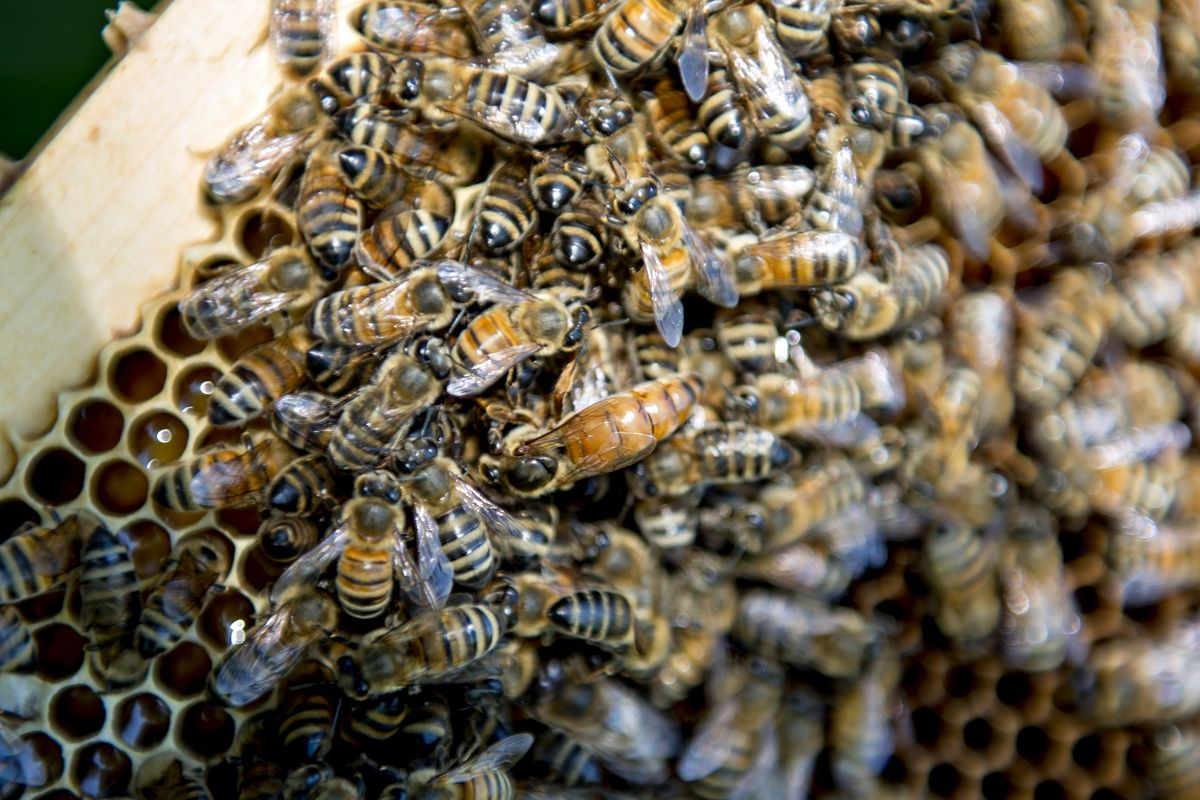 Embattled Bees Find New Champion in German Chancellor Merkel