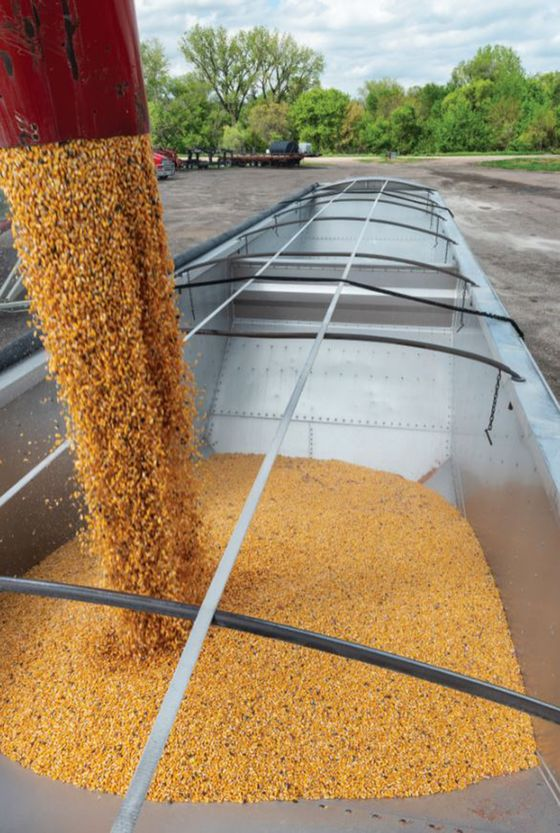 Soon-to-Be-Obsolete Corn Finds New Home as 'Green' Cattle Feed