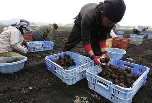 Farmers harvest konjac roots