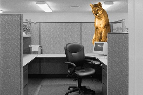 What to Do If There's a Mountain Lion in Your Office