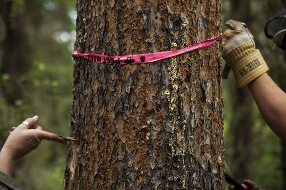 Millions of Beetles Are Wiping Out Forests All Across the World
