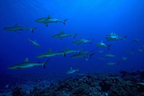 A school of Gray Reef Sharks in the FakaravaSouth Pass