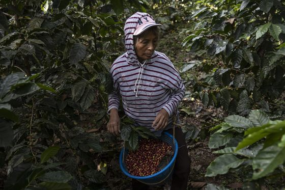 There Is No Money in High-end Coffee For Guatemalan Growers