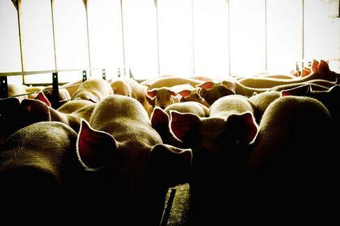 A Short-Term Solution for Deadly Pig Virus: Raise Fatter Hogs