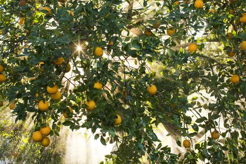 Fruit Growers Say Government Shutdown May Leave Crops Unpicked