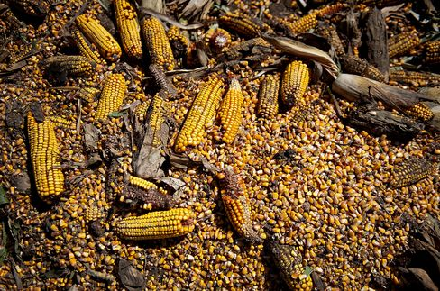 Corn Boom Goes Bust With U.S. Sales in Record Drop