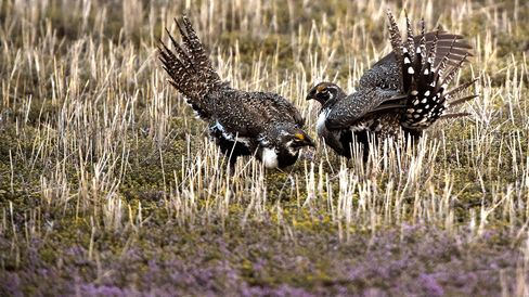Greater Sage Grouse in Craig, Colorado.
