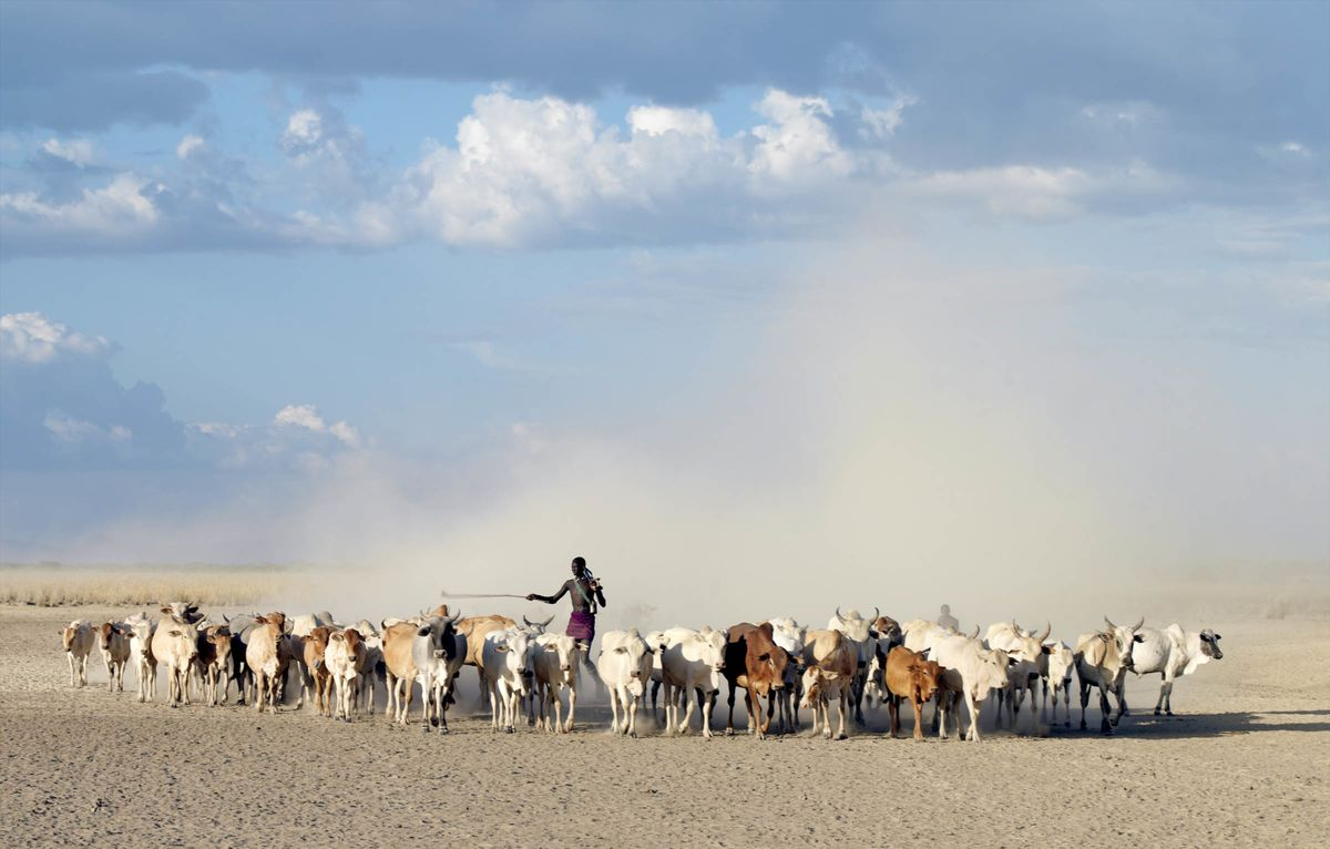 Ethiopia, A very tall, armed Nyag'atom herdsman drives cattle through arid, dusty country to water on the Omo River. The Nyag'atom are one of the largest tribes and arguably the most warlike people living along the Omo River in Southwest Ethiopia