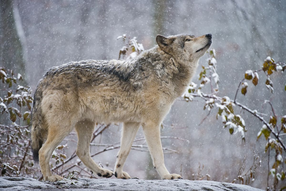 Wolf Packs Are Returning to Colorado After Almost a Century