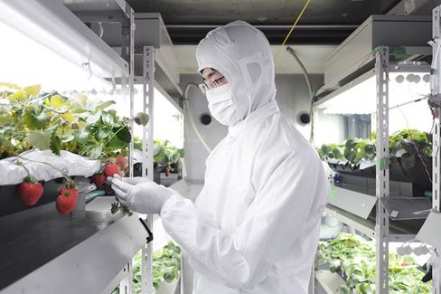 Forget TVs. Sharp Sees a Future in Strawberry Farming