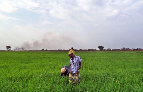 Saudi Star Rice Farm