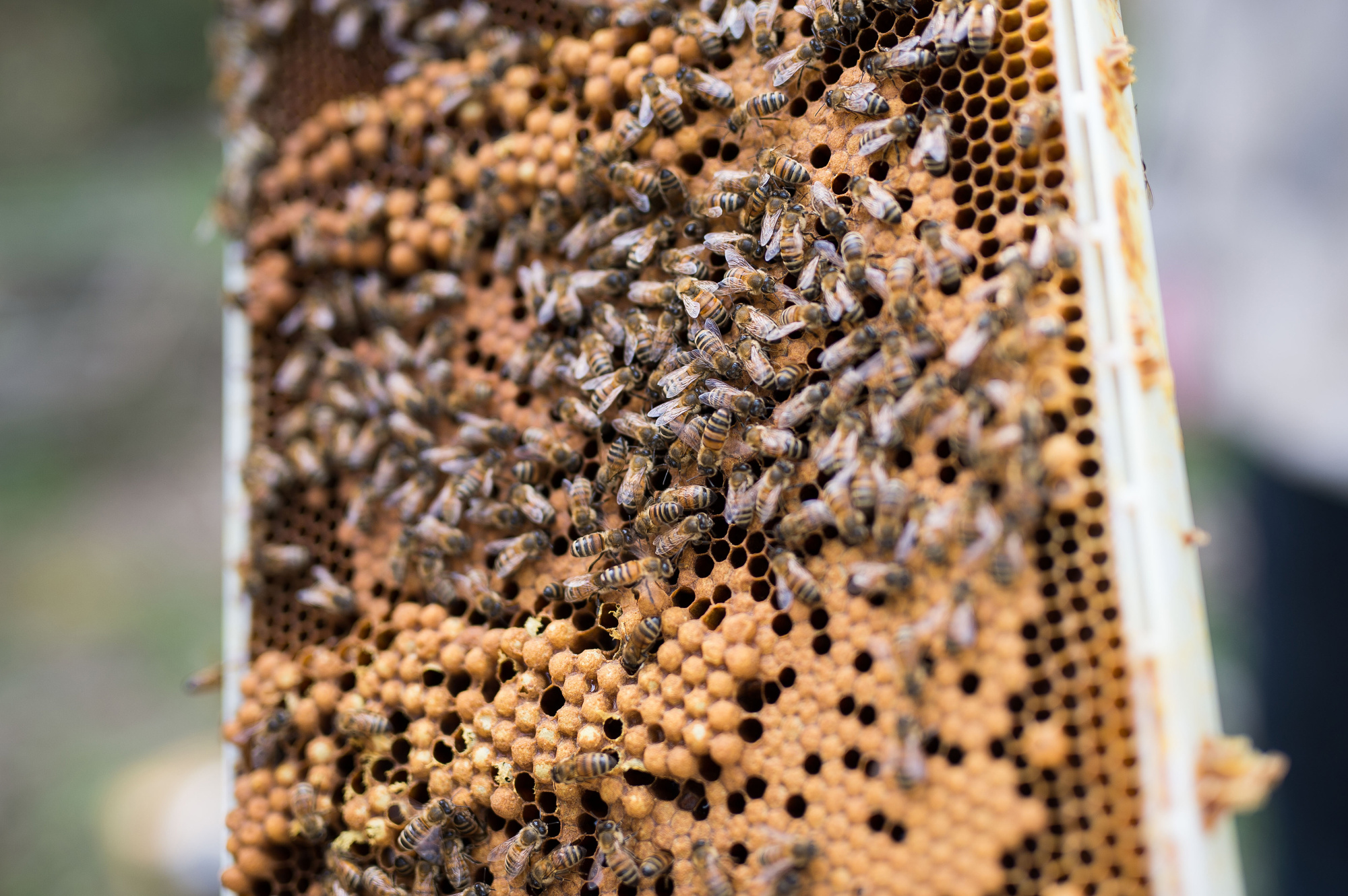 Colony collapse disorder CCD is the phenomenon that occurs when the majority of worker bees in a colony disappear and leave behind a queen plenty of food and a few