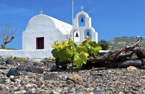 A grape vine struggles through the rocky soil on Santorini.