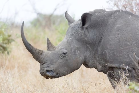 A White Rhino Stands in Kruger National Park